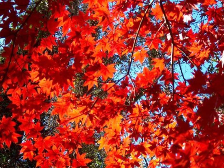 단풍(Missouri Botanical Garden)