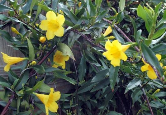 캐롤라이나 재스민 2(Top Tropicals Nursery)